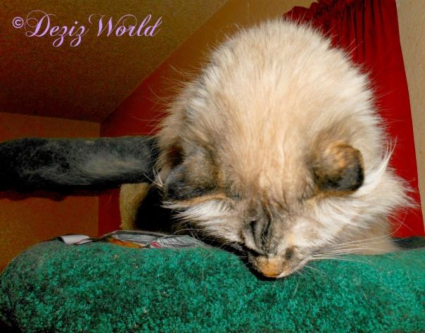 Dezi looks over the edge of the cat tree