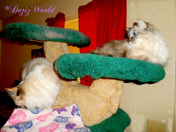 Dezi and Raena atop the Liberty Cat tree
