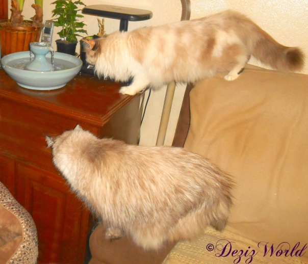 Dezi looks on as Raena goes in to get a drink from the Thirsty Cat Fountain