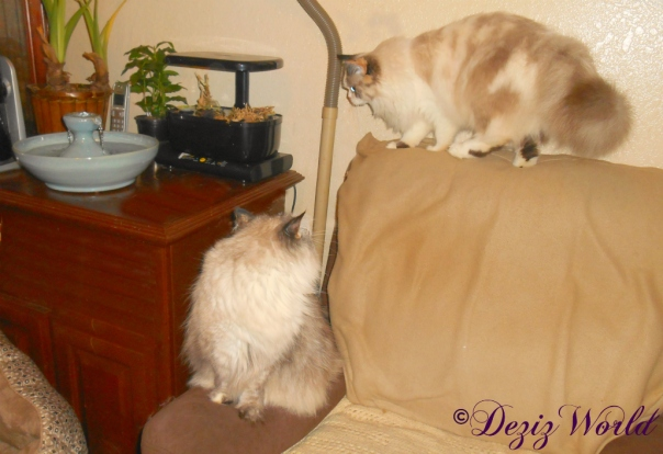 Dezi watches Raena head for the Thirsty Cat fountain