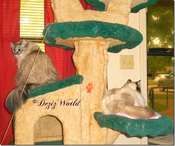 Dezi and Raena on the Liberty cat tree looking outside