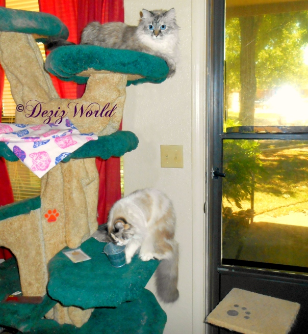 Dezi lays atop the Liberty Cat tree and watches Raena with the cat grass kit from Valentine