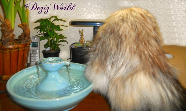 Dezi getting ready to drink from the Thirsty Cat Fountain