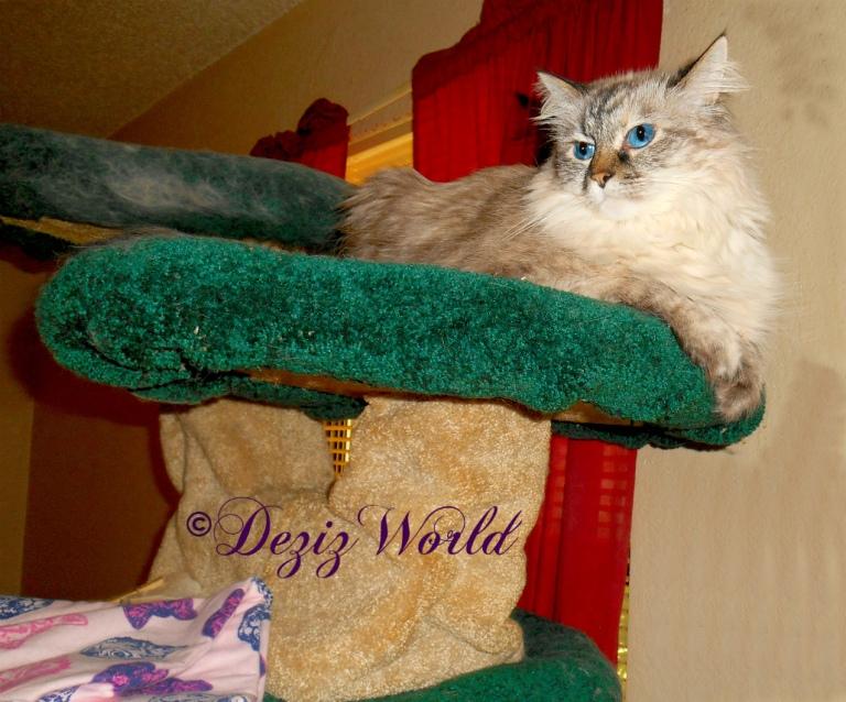 Dezi lays on Liberty cat tree