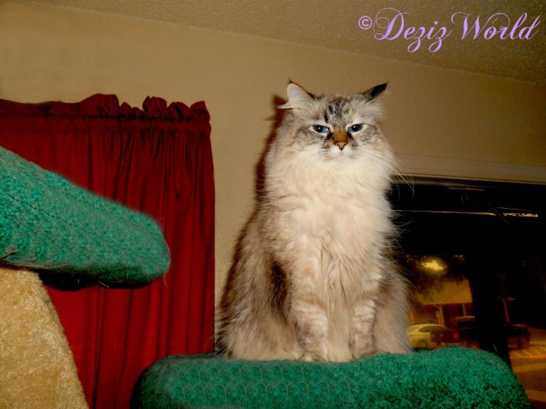 Dezi sits atop the Liberty cat tree