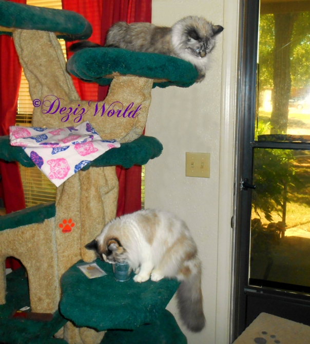 Dezi watches Raena with the cat grass kit from atop the Liberty cat tree