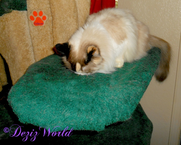 Raena eats treats on the Liberty cat tree