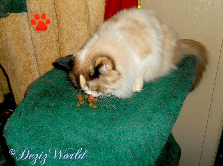 Raena eats Kittles treat on the Liberty cat tree