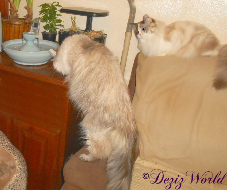 Raena watches Dezi sniff the Thirsty Cat fountain