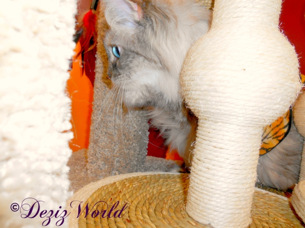 Close up of Dezi among the cat scratchers at petco