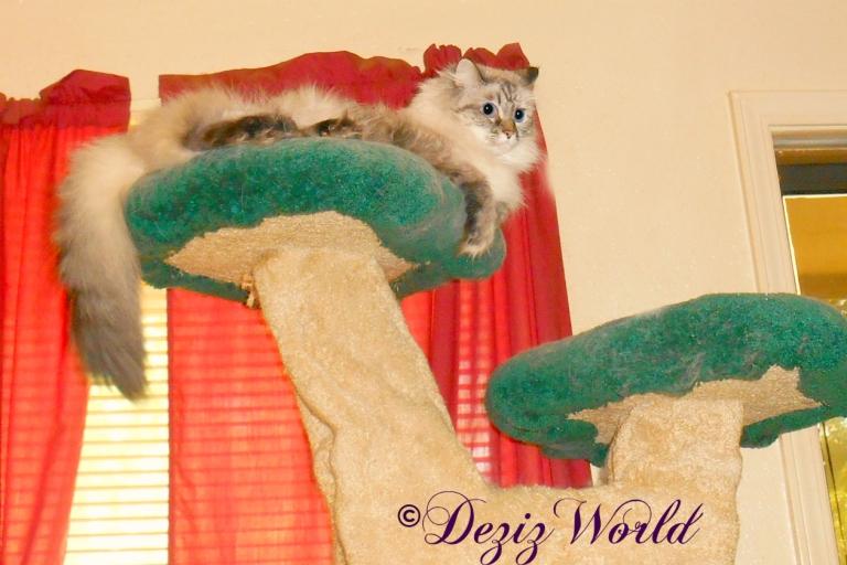 Dezi lays atop the Liberty cat tree