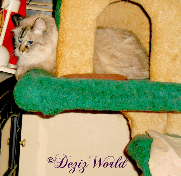 Dezi lays in house of Liberty cat tree