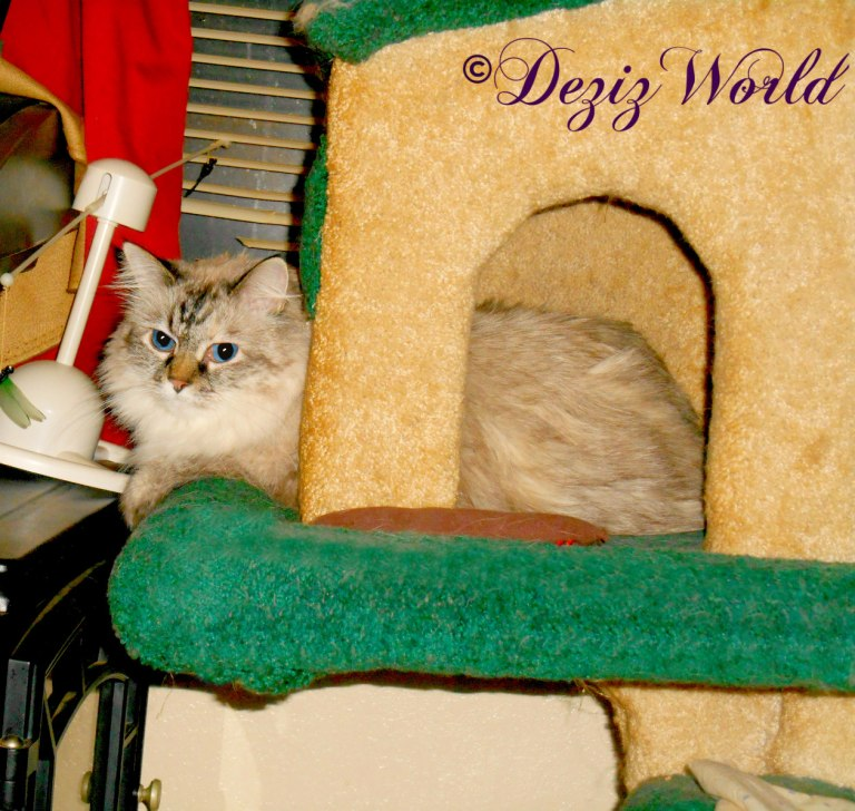 Dezi lays in the Liberty cat tree house