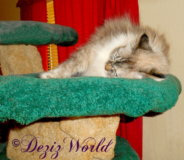 Dezi lays and rolls on the Liberty cat tree