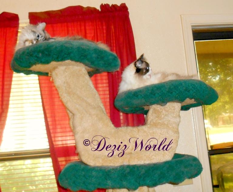 Dezi and Raena bathe atop the Liberty cat tree