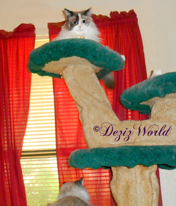 Dezi looks our window and Raena lays atop the Liberty cat tree