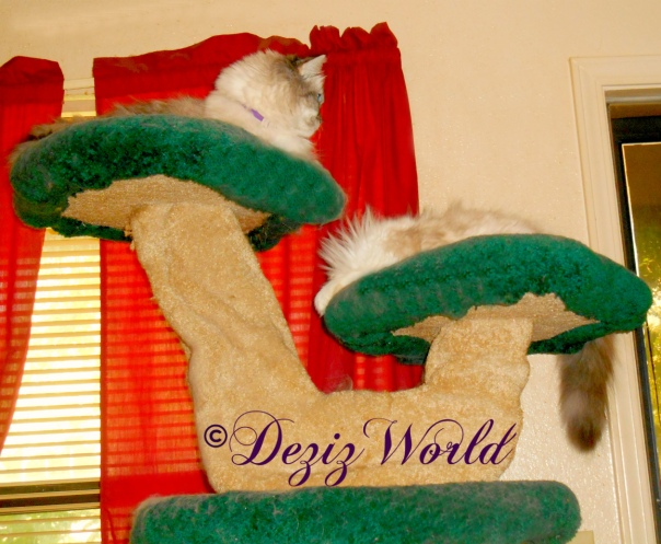 Dezi looks out door from atop the Liberty cat tree while Raena sleeps on the ledge below her