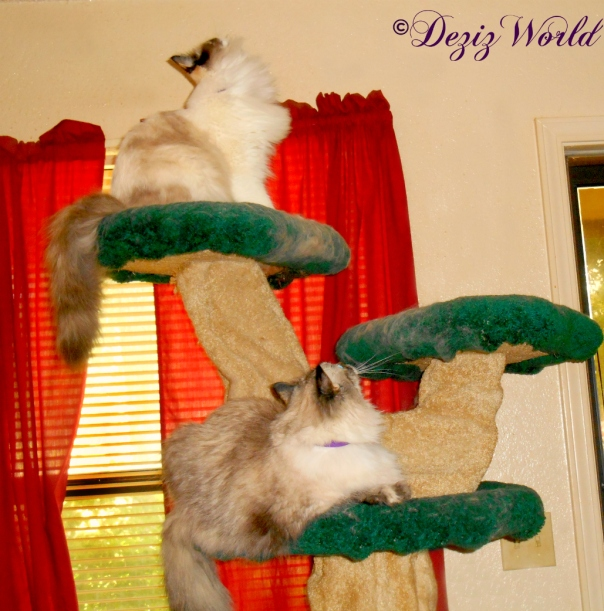 Dezi and Raena look at the ceiling from the Liberty cat tree