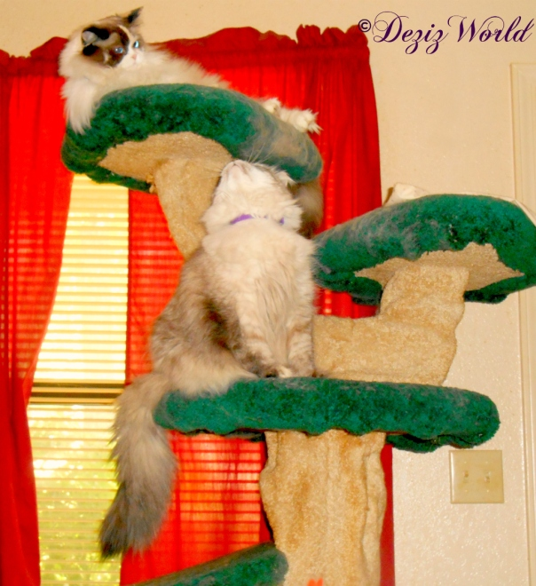 Dezi looks up at Raena atop the Liberty cat tree
