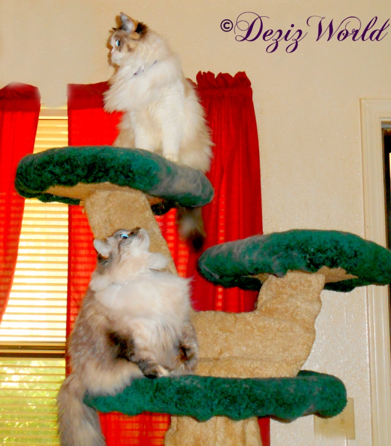 Dezi looks up at Raena while Raena looks off in the distance from atop the Liberty cat tree
