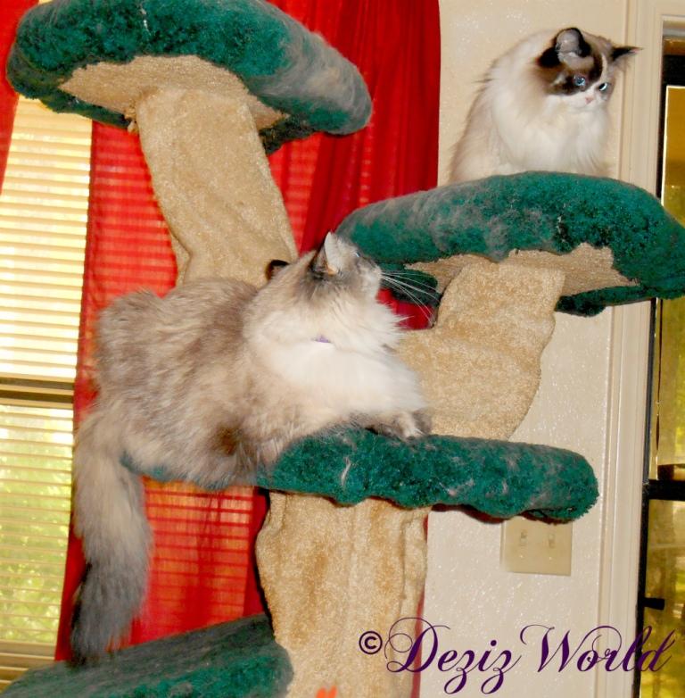 Dezi watches Raena atop the Liberty cat tree