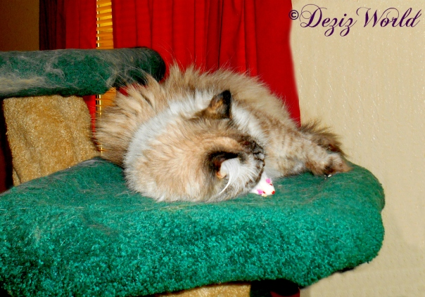 Dezi rolls on silvervine mouse on the Liberty cat tree
