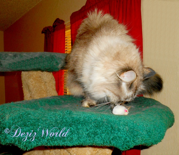 Dezi sniffs the silvervine mousey on the Liberty cat tree