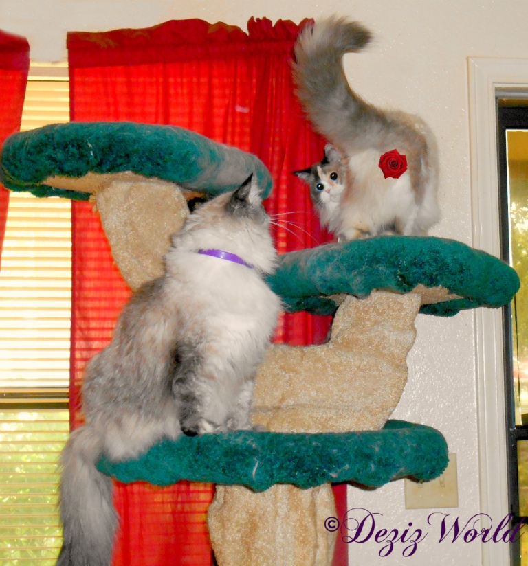 Dezi, watches RAena walk off the Liberty cat tree