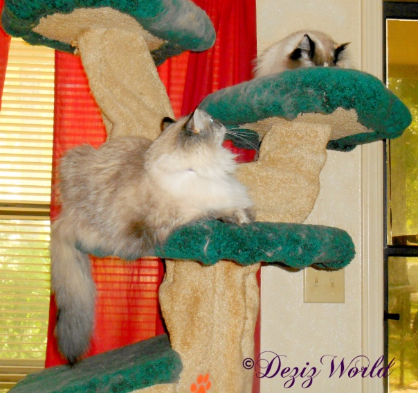 Dezi watches Raena on the Liberty cat tree