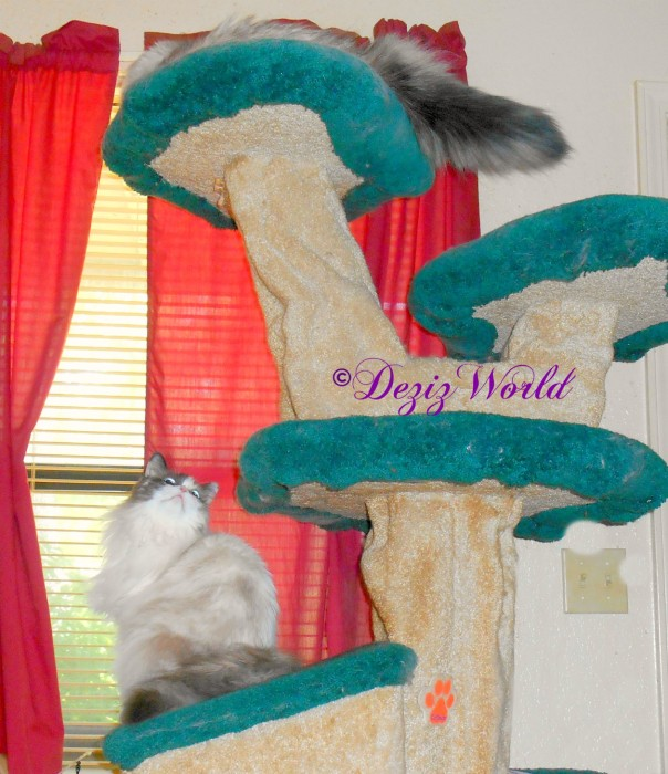 Raena looks up at Dezi while they sit on the Liberty cat tree