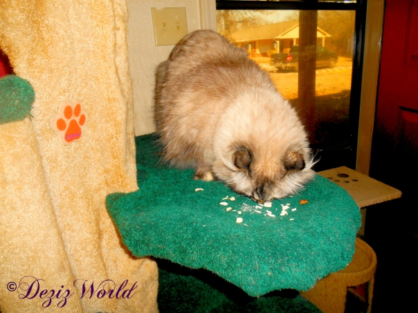 Dezi eats treats while on the liberty cat tree