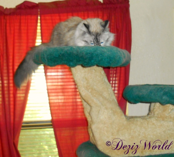 Dezi eats treat atop cat tree