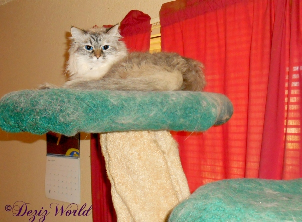 Dezi lays atop the Liberty cat tree