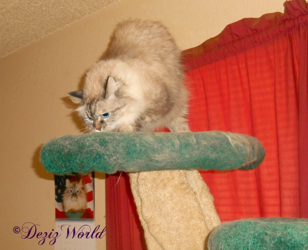 Dezi with silvervine on cat tree
