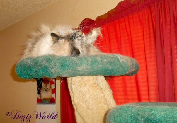 Dezi with silvervine on the cat tree