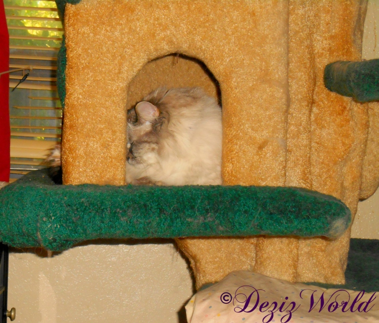 Dezi sleeps in house on Liberty cat tree