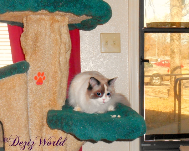 Raena eats treats while on the liberty cat tree