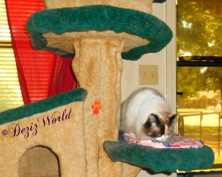 Raena eats treats on cat tree