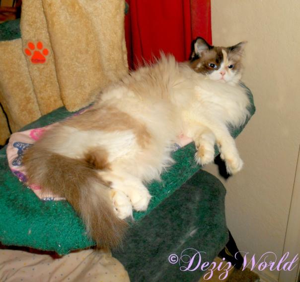 Raena lays on nip mat on Liberty cat tree