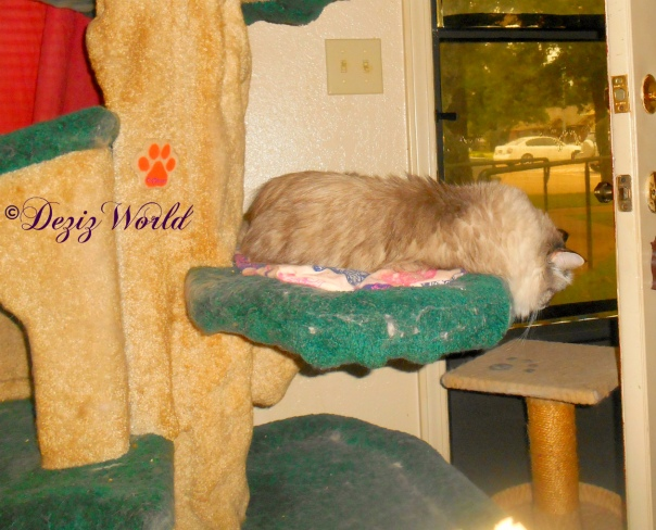 Dezi lays on cat tree and looks down