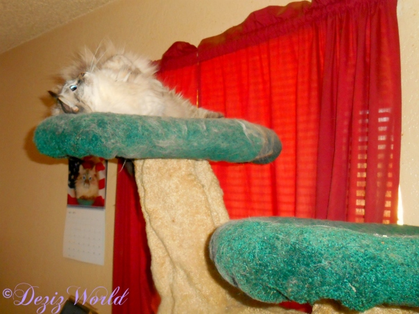 Dezi rolls around on the liberty cat tree