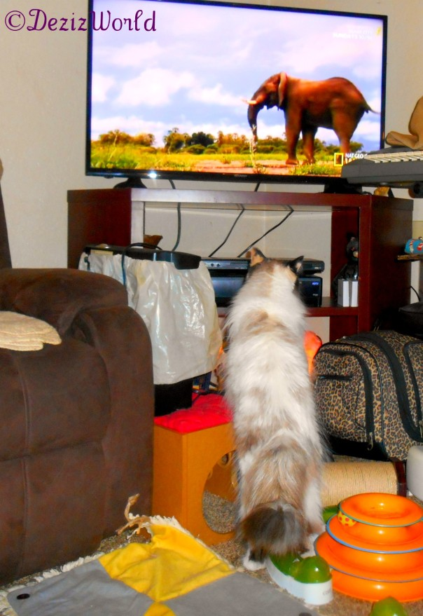 Raena watches a lion on tv
