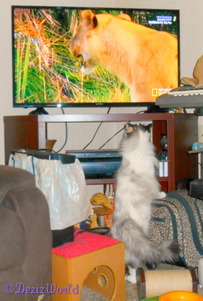 Raena watches and talks to a lion on tv