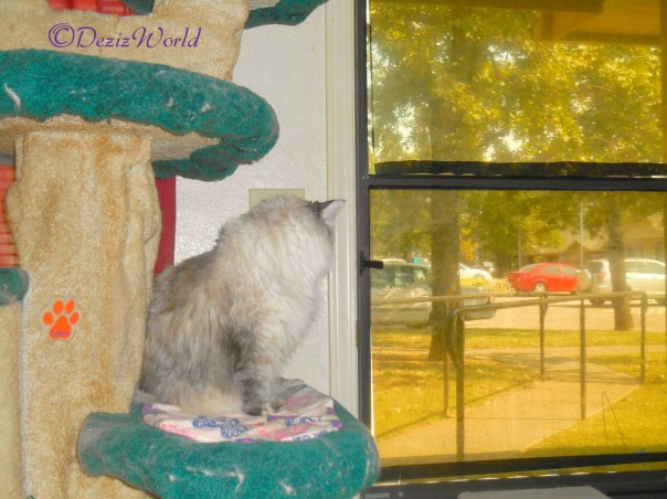 Dezi looks out door from cat tree