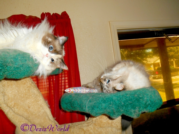 Dezi and Raena atop the liberty cat tree with Yeowww toy