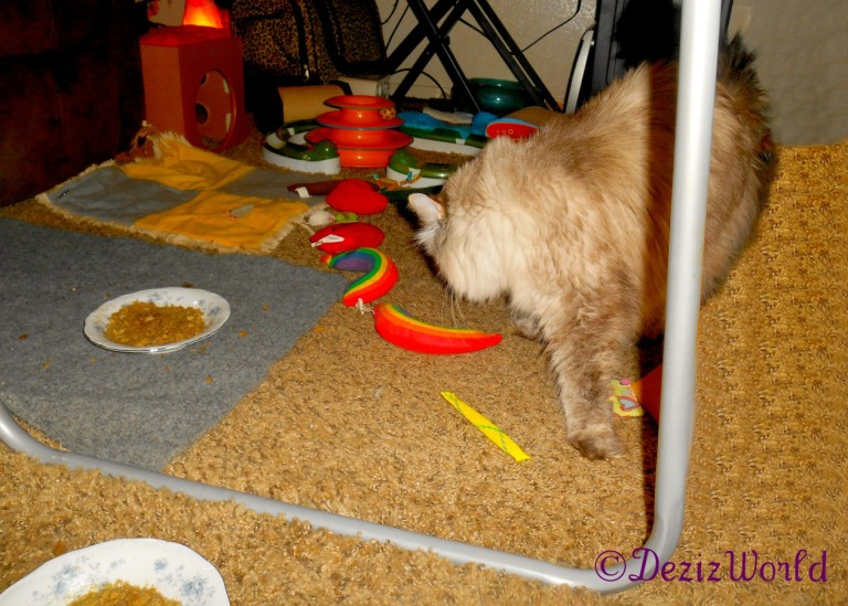 Dezi walks toward the food bowl while looking back at Raena not in foto