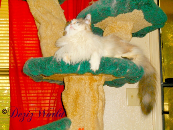 Raena sits on cat tree looking up at Dezi
