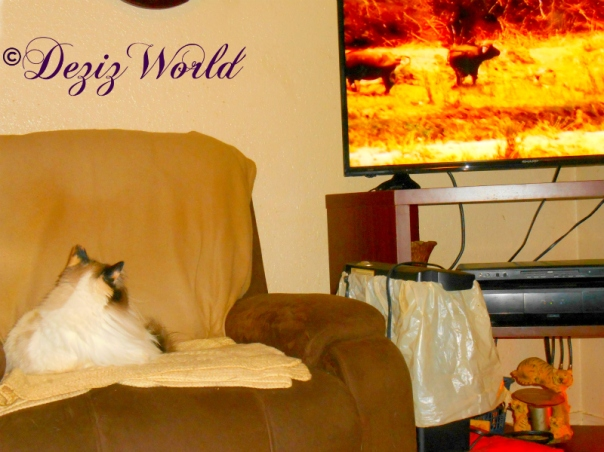 Raena watches cape buffalo on tv while laying in the chair