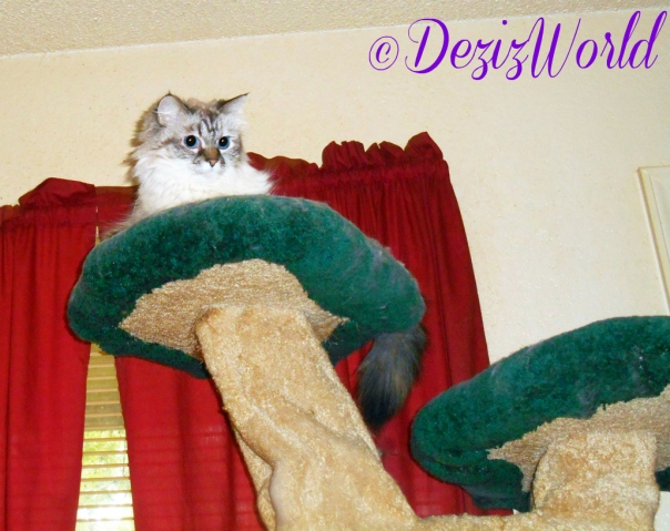 Dezi watches from atop the Liberty cat tree