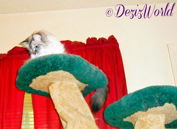Dezi looks down from atop the liberty cat tree